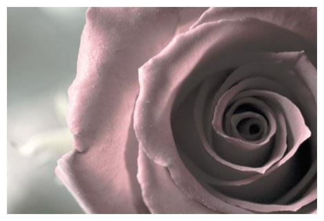 rosedesaturated.jpg