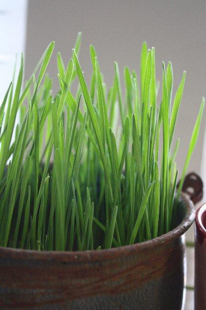 wheatgrass...